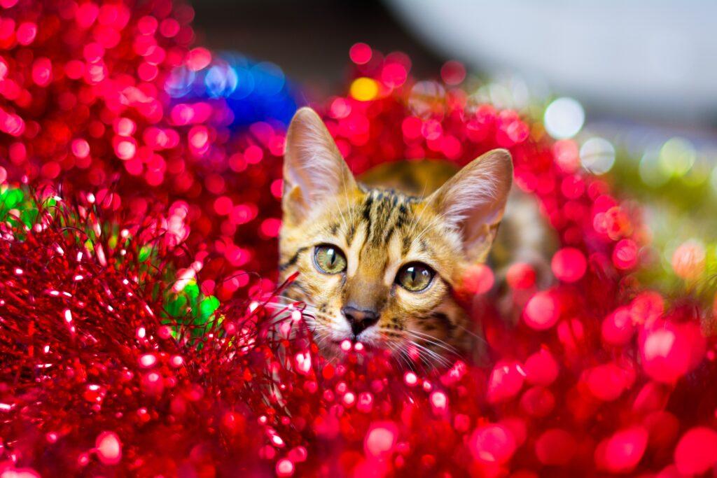 Katt i brunt mönster leker i rött glitter.